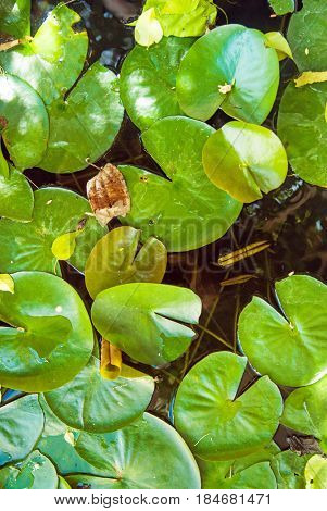Green lily pads floating on pond