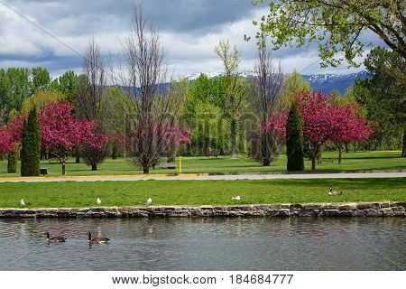 Crabapple trees provide color on a spring day in a park at Boise, Idaho.