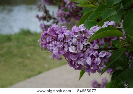 Purple Lilacs bring color and fragrance to a city park during the Spring in Boise, Idaho.