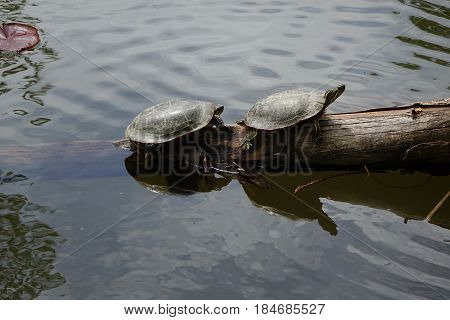 Turtles resting on a log in a pond at Boise, Idaho.