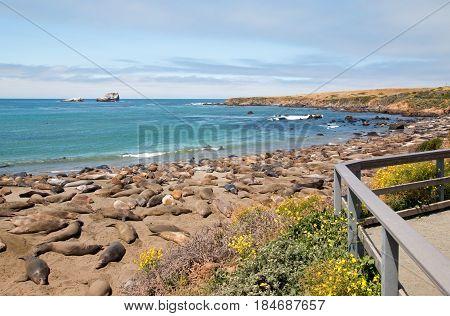 Elephant Seal Colony at Piedras Blancas north of San Simeon on the Central Coast of California U S