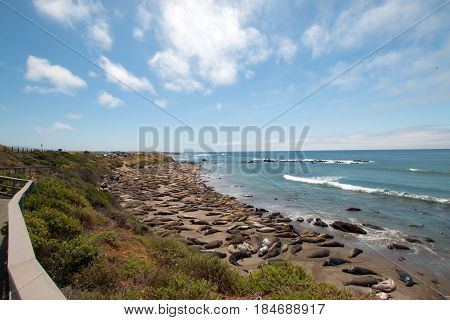Elephant Seal Colony at Piedras Blancas north of San Simeon on the Central Coast of California