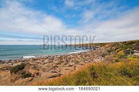 Elephant Seal Colony at Piedras Blancas north of San Simeon on the Central Coast of California US