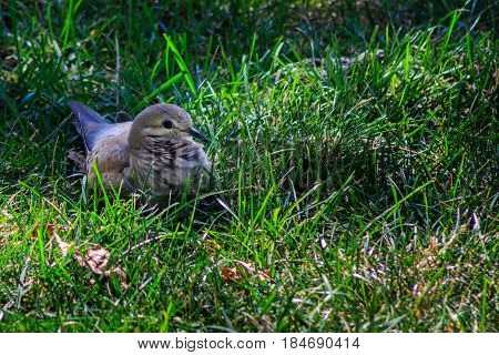 Mourning dove on lawn with feathers ruffled keeping his eye on you.