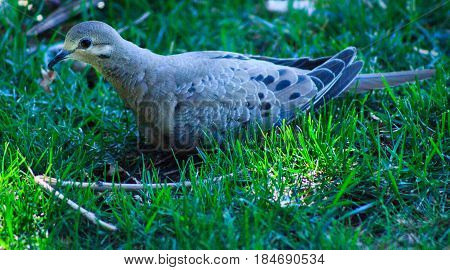 Mourning dove neslted on the grass being ever vigilant.