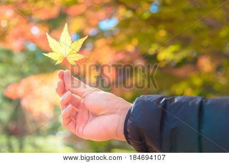 Asian Tourist Holding Autumn Yellow Maple Leaf On Hand With Blurred Maple Tree In Background At Kyot