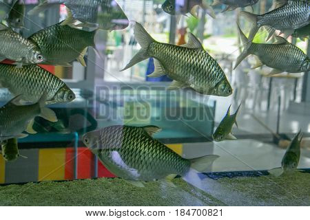 Aquarium with silver fish. A large aquarium in the interior. The glass shines through. Through the aquarium and see the interior. Larger fish are silvery in color with large scales.