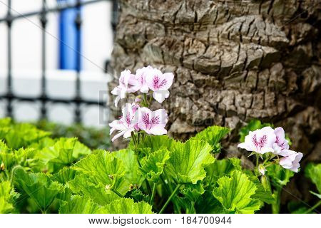 Pelargonium Fairy Orchid