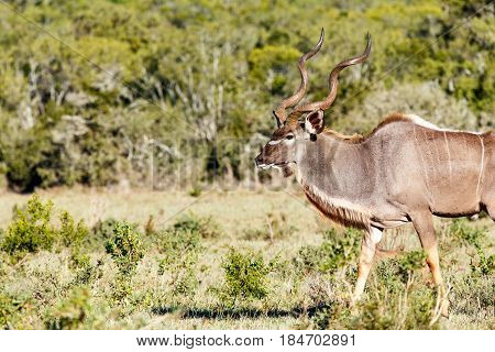 Greater Kudu walking in the field in Addo