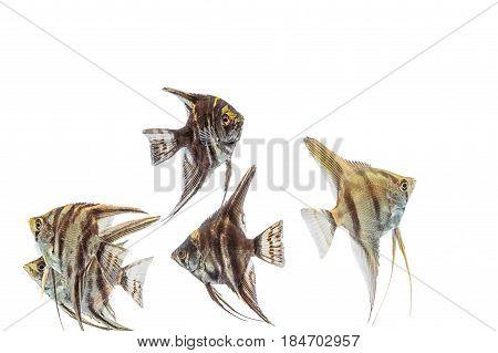 Angelfish (pterophyllum) Isolated On White Background