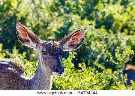 Kudu Standing And Looking At The Camera