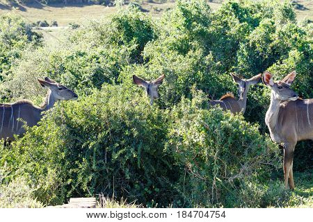 Kudus Standing And Watching In All Directions