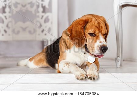 beagle dog. Young, Beautiful, Brown And White Beagle Dog