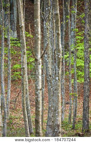 Forest Of Hornbeam Trees In The Spring