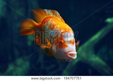 Goldfish colorful in blue dark water at depth. Colorful fish in the blue sea, aquarium, ocean. Marine life, beautiful underwater world, blue water.