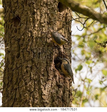 Pair of nuthatches (Sitta europaea) by nest hole. Composite of woodland birds in the family Sittidae visiting nesting hole to feed chicks