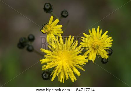 Beaked Hawk's-beard (Crepis vesicaria) flowers. Hairy plant in the daisy family (Asteraceae) with hairy stems and yellow inflorescences