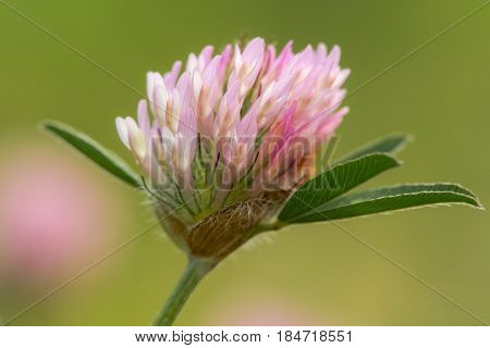 Red clover (Trifolium pratense) flower-head. Legume in the pea family (Fabaceae) showing individual flowers forming inflorescence