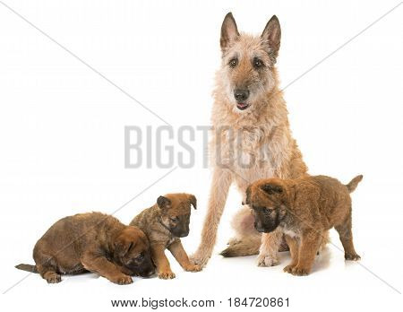 puppy and adult belgian shepherd dog laekenois in front of white background