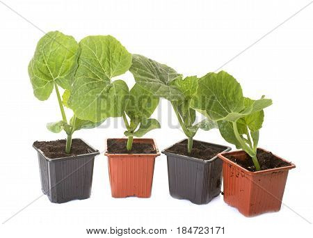 Red kuri squash and pumpkin plants in front of white background