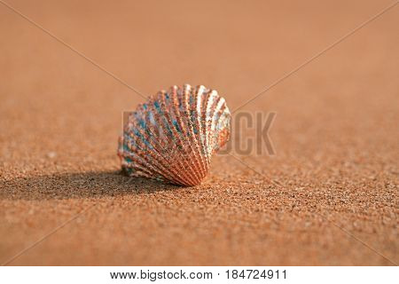 golden tropical shell on sea beach with sand under sunrise sun light, Canary island, Spain