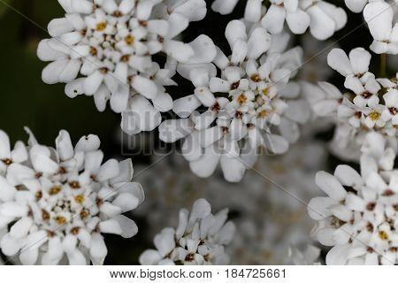 Flower of an evergreen candytuft (Iberis sempervirens)