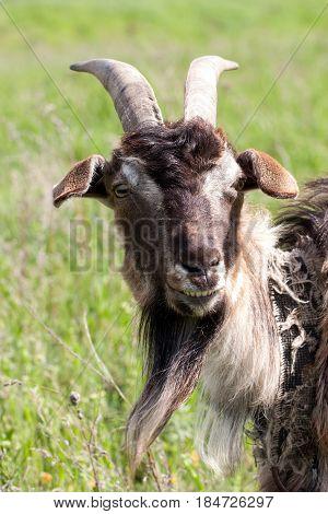 A portrait of a goat grazing in meadow.