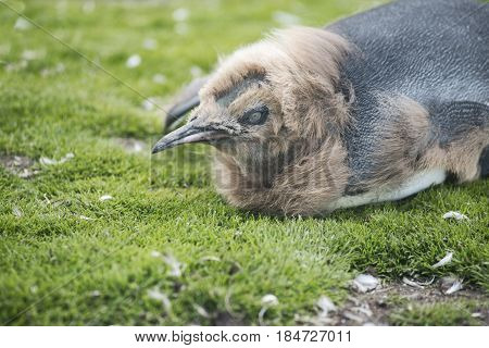 Close up of a Chick King Penguin at Volunteer Point Falkland Islands