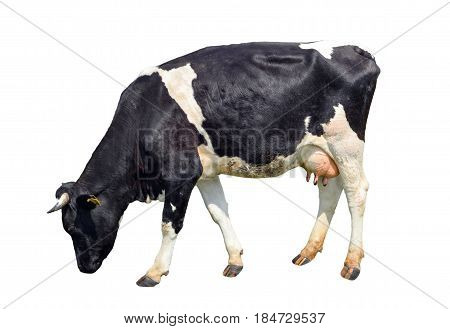 Spotted black and white cow full length isolated on white. Funny cute cow isolated on white. Cow, standing full-length in front of white background. Farm animals.