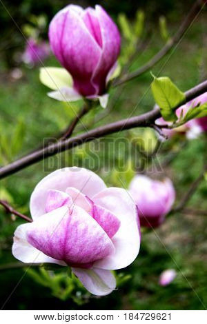 Magnolia blooms. Flowering of spring gardens, magnolias.