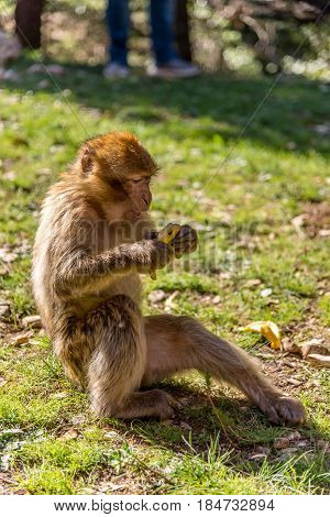 Barbary macaque in mountains of Middle Atlas in Morocco