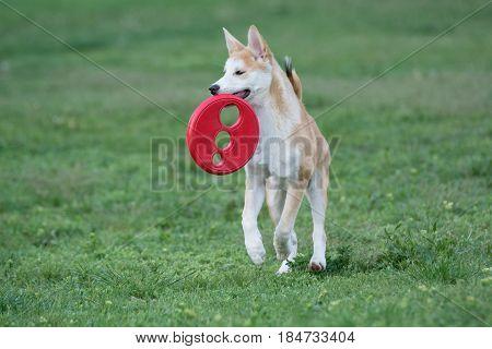 Close up portrait of young akita inu dog.Selective focus