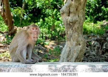 Monkey sitting on the wall at Khao Luang Cave Phetchaburi Province Thailand