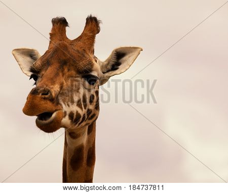 Close-up of a gorgeous giraffe's face with a cloudy background and space for text. Giraffe is chewing.