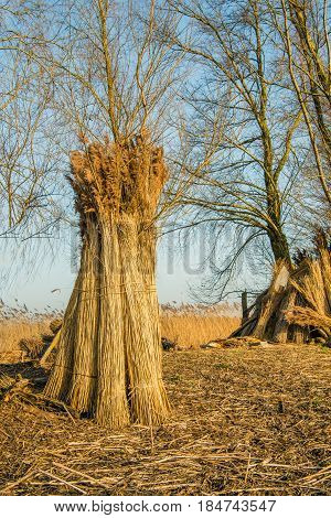 Upright against a tree bundles harvested reed in a flood plain next to a Dutch river are drying and waiting for transport.