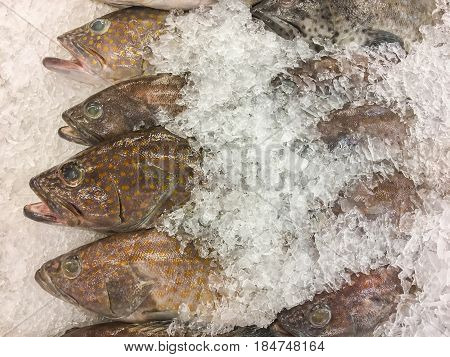 Greasy Grouper Fish