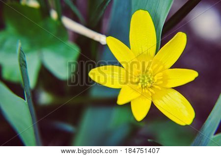 Buttercup Ficaria Verna Or Lesser Celandine Grows At Spring