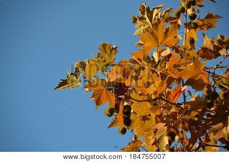 Branch of an autumn platan against a background of clear sky