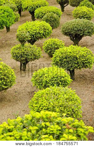 View of a series of green dwarf trees in the garden during spring and summer