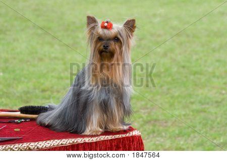 Little Dog On The Hairdresser`S Desk