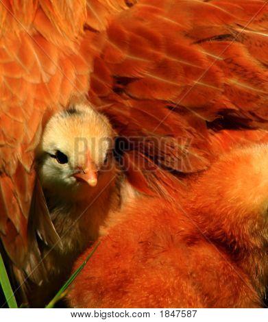 Aracauna Chick 2