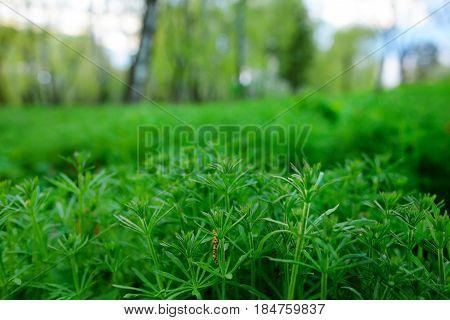 American Common Ragweed, Ambrosia Artemisiifolia, Causing Allergy.