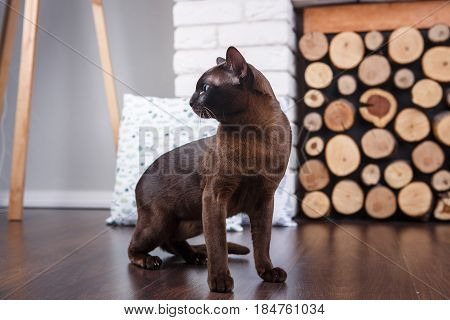 Cat Brown, Chocolate Brown With Large Green Eyes On The Wooden Floor On Dark Background White Brick