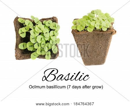 Young Basil Sprouts Or Seedlings In Peat Container Isolated