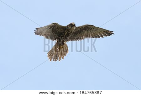 Close up of a Saker Falcon in flight
