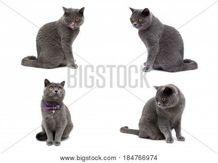 Gray cat isolated on white background. Horizontal photo.