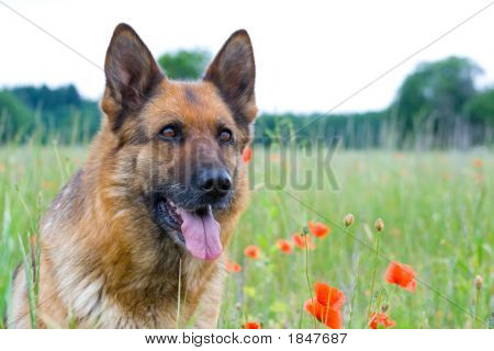 poster of Germany Shepherd portrait with red poppy flower