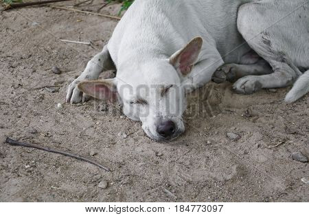 white stray dog sleep relaxing on the sand