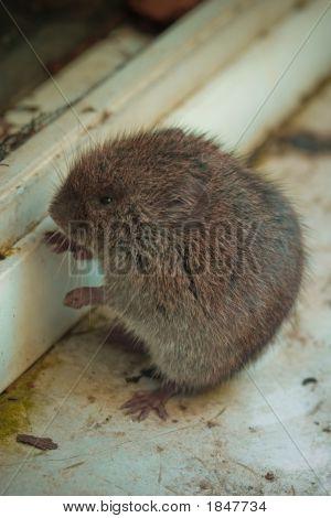 Locked Out - Vermont Woodland Vole, Microtus Pinetorum