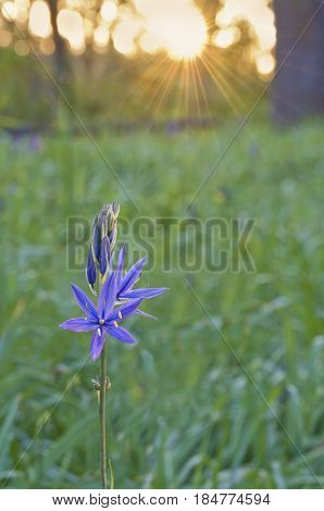 Blue Camas (Camassia Leichtlinii) wildflowers lighted by sunrise and golden rays of the sun